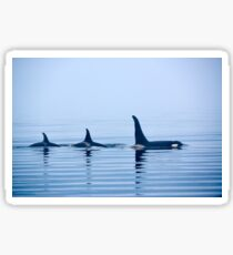 Three killer whales with huge dorsal fins Sticker