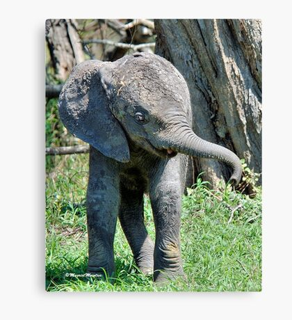 YES I'M DOING THE BABY ELEPHANT WALK - THE AFRICAN ELEPHANT – Loxodonta Africana Canvas Print