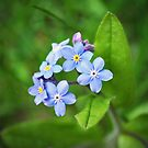 Blue Forget me nots by Lyn  Randle