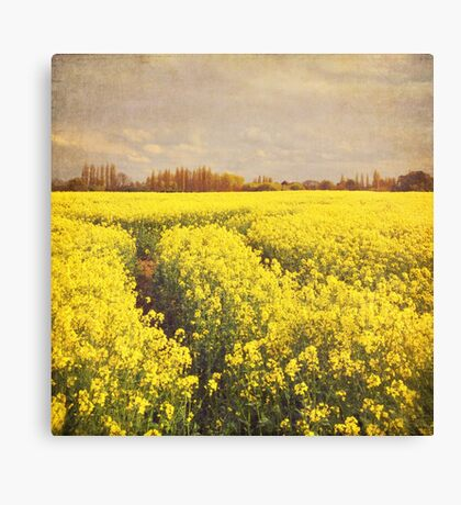 Yellow rapeseed field Canvas Print