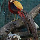 Golden Pheasant Male by Lyrebird