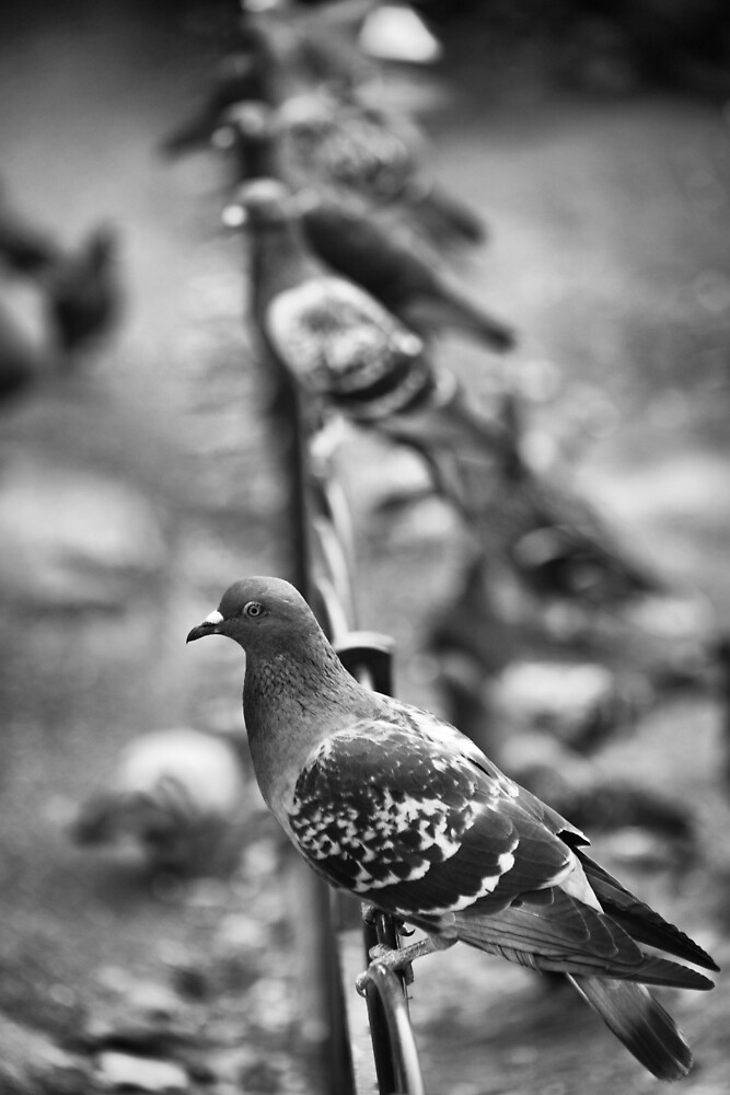 Pigeons in St. James's Park by Ellesscee