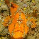 Freckled Anglerfish - Antennatus coccineus by Andrew Trevor-Jones