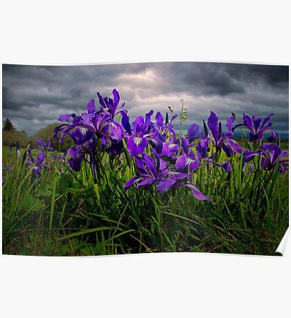Wild Iris ~ Finley Refuge Wildflowers ~ Poster
