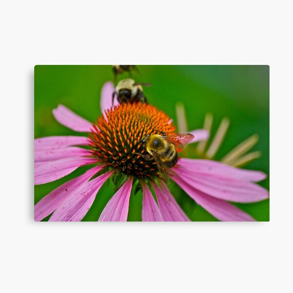 Busy Bumble Bees Canvas Print