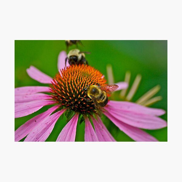 Busy Bumble Bees Photographic Print