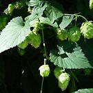 Ornamental hops by nealbarnett