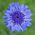 Star of Blue by Penny Smith