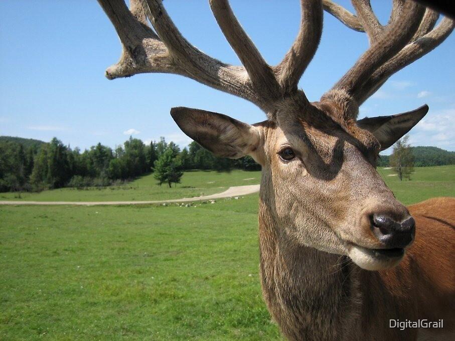Deer by DigitalGrail