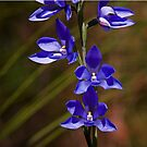 Thelymitra ixioides (Spotted Sun Orchid) by Robert Elliott
