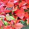 *AVATAR - Christmas Flowers*