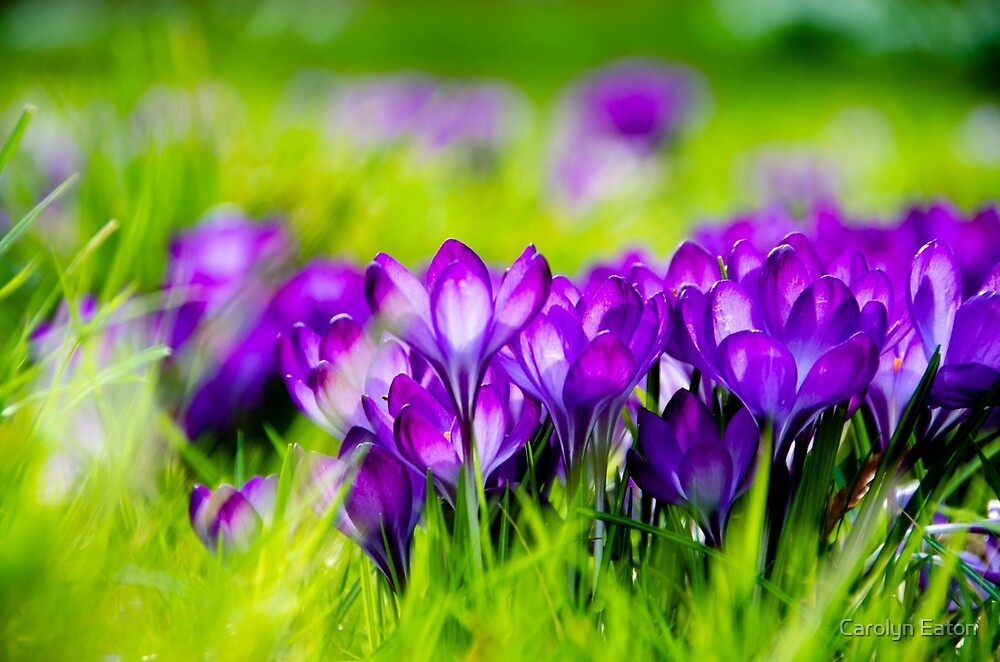Purple Crocuses by Carolyn Eaton