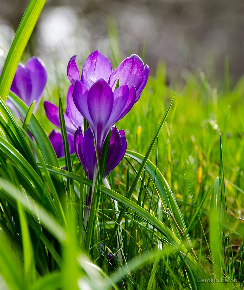 Purple Crocus by Carolyn Eaton