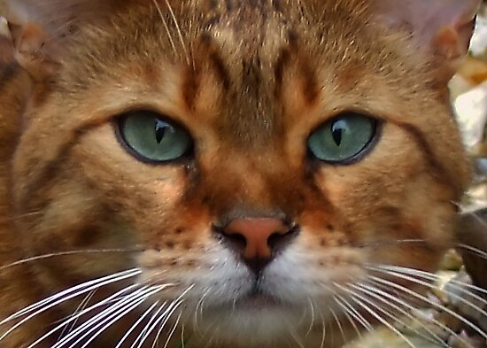 Bengal Domestic Cat by AnnDixon