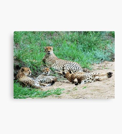SIESTA IN KRUGER - THE CHEETAH -  Acinonyx jabatus – Die Jagluiperd Canvas Print