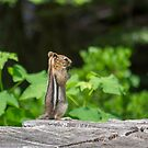 Chipmunk In South Lake Tahoe  by Diego Re