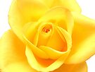 Yellow rose by David Rankin