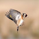 Goldfinch ~In flight by M.S. Photography/Art