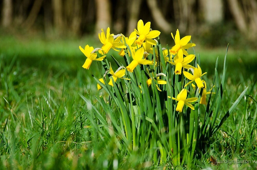 English Native Daffodils by Carolyn Eaton