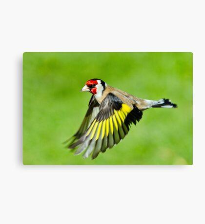 Goldfinch in flight Canvas Print