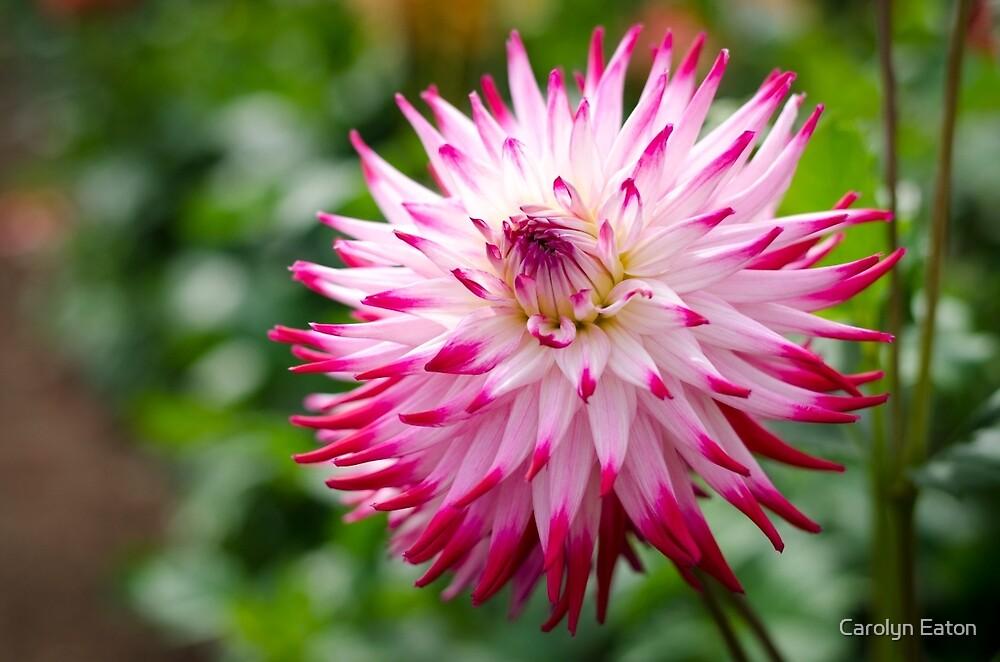 Pretty Dahlia Flower by Carolyn Eaton