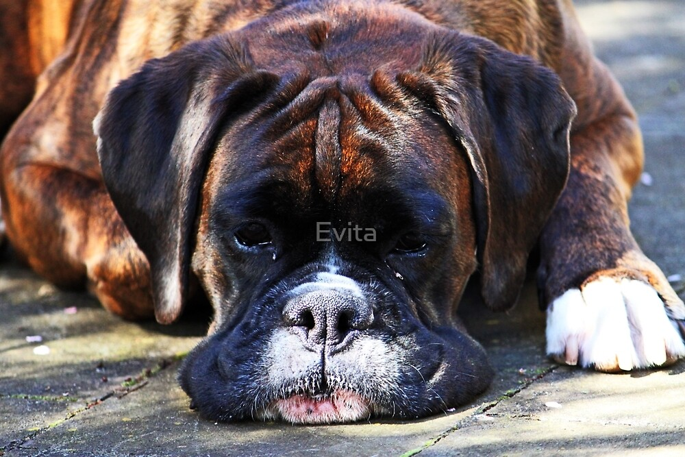 Such is Life -Boxer Dogs Series- by Evita