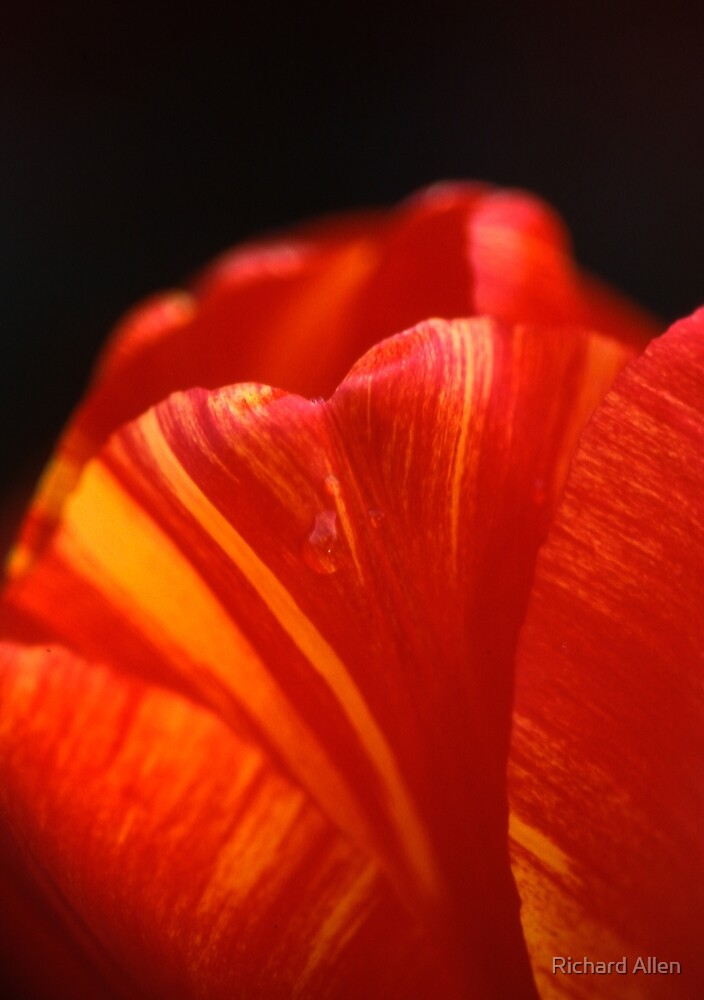 Tulip by Lea Valley Photographic