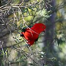 Male King Parrot by jansimpressions