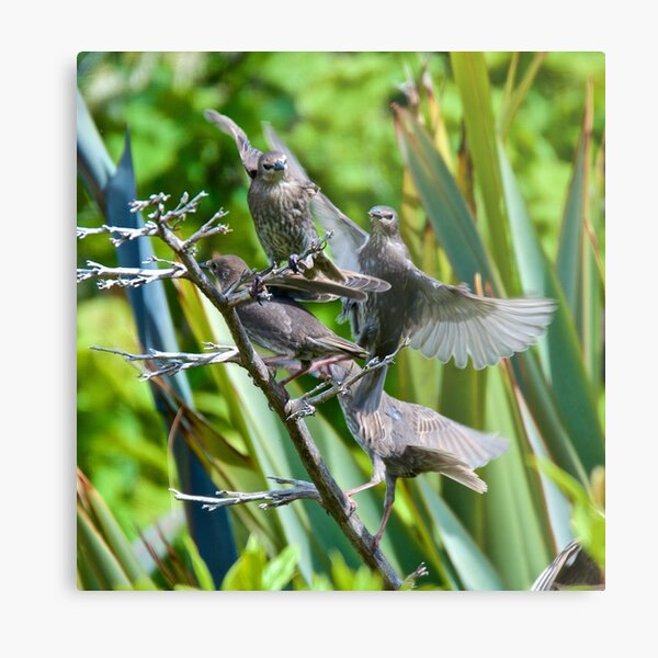EXOTIC ~ EUROPEAN ~ Common Starling by David Irwin Metal Print