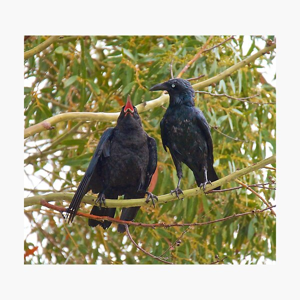 RAVEN ~ Forest Raven J4EJAFU5 by David Irwin Photographic Print