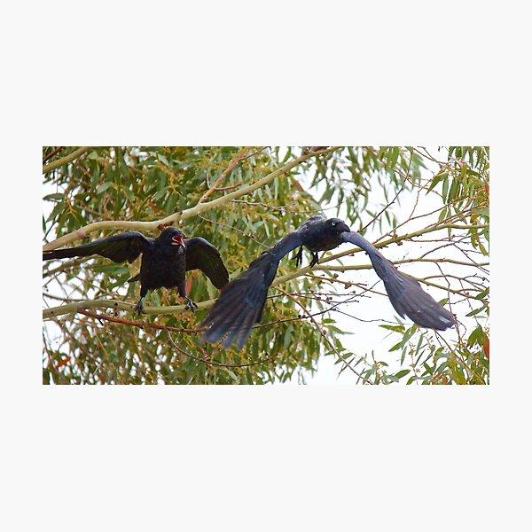 RAVEN ~ Forest Raven UPELSVG5 by David Irwin Photographic Print