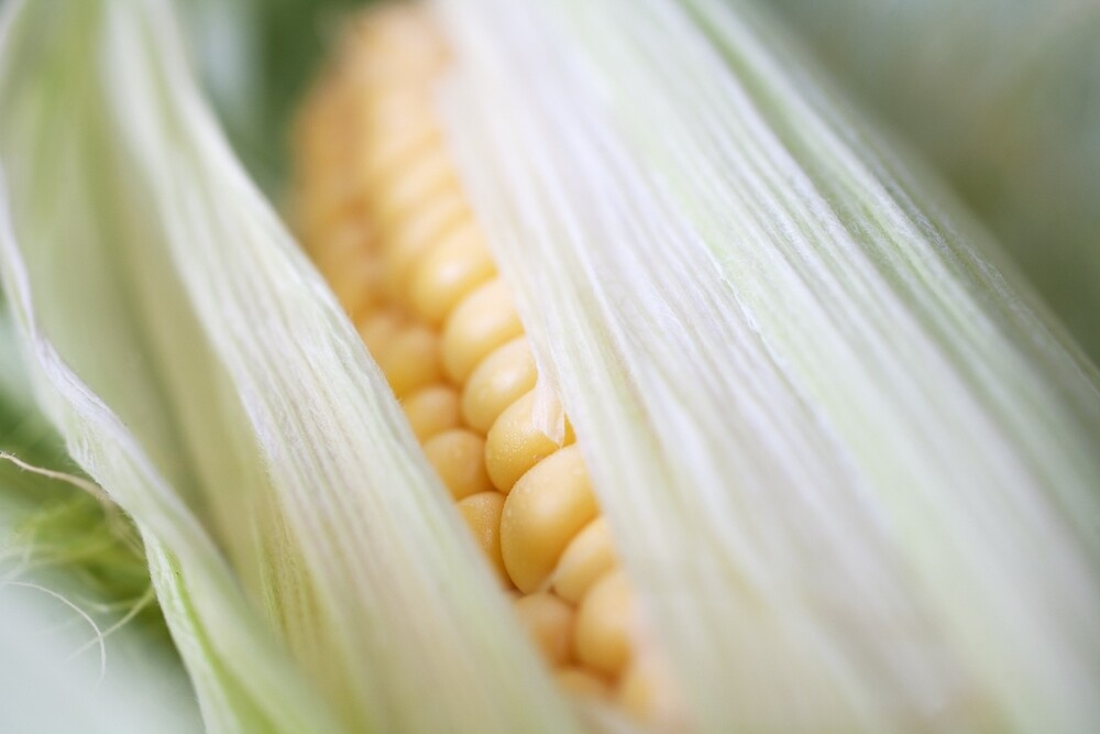 Sunny Sweetcorn by Ellesscee