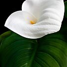 Calla Lily by Ellesscee