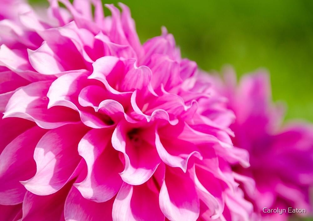 Pink Frilly Dahlia by Carolyn Eaton
