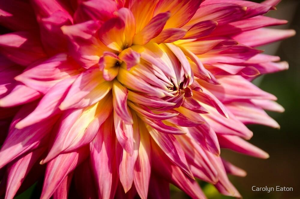 Spiky Pink Dahlia by Carolyn Eaton