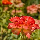 Roses by Judi FitzPatrick