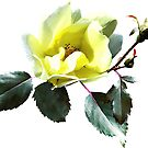 Delicate Yellow Rose by Susan Savad