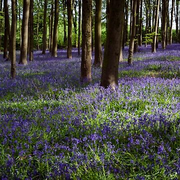 English Bluebell Woodland by CarolynEaton