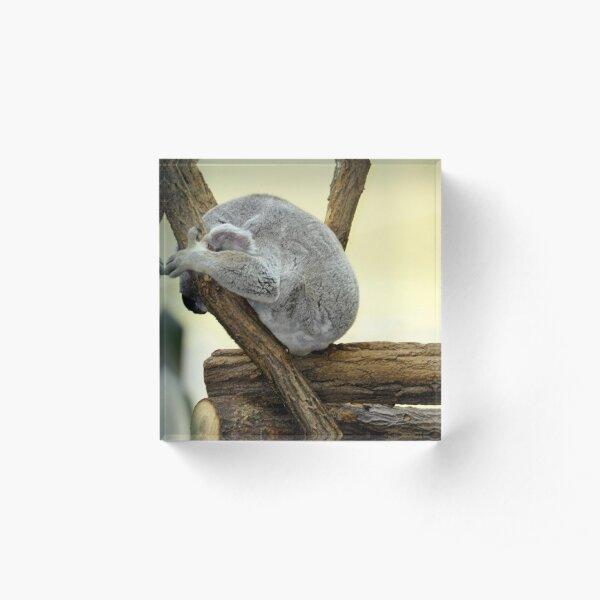 Shy Koala  Acrylic Block