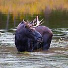Moose Dripping water by Luann wilslef