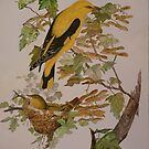 GOLDEN ORIOLES - water-colour - sold by Marilyn Grimble