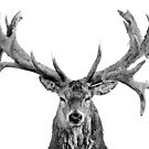 Red Deer - Head On - Centred - On White - Wide by George Wheelhouse