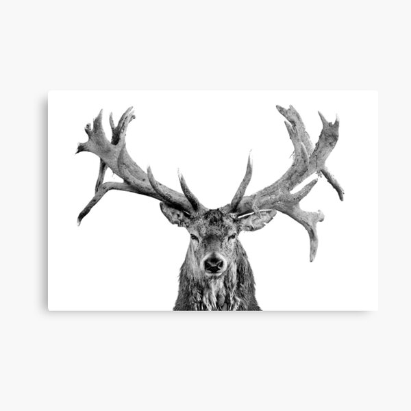 Red Deer - Head On - Centred - On White - Wide Metal Print