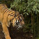 Panthera Tigris by SusanAdey