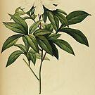 Paeonia Albiflora by kishART