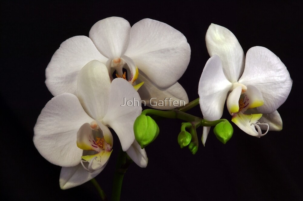 White Orchids by John Gaffen
