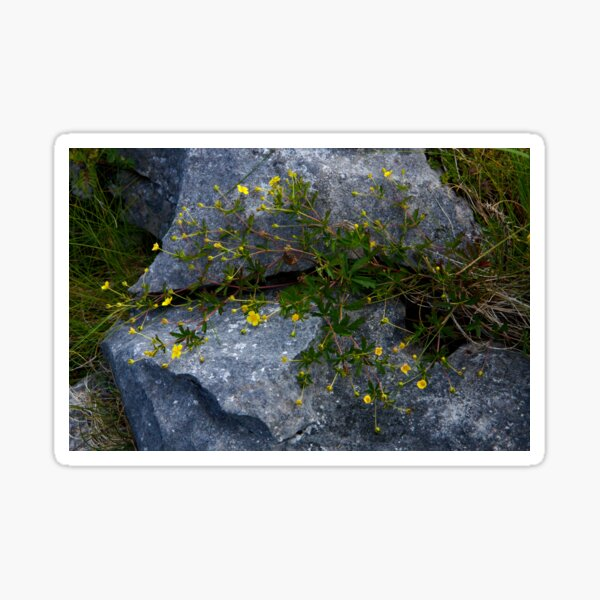 Tormentil, Dun Aengus, Inishmore, Aran Islands Sticker
