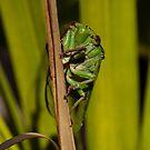 cicada by DareImagesArt