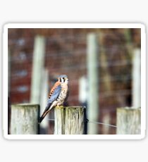Sparrowhawk... Sticker