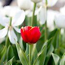 Single red tulip in a sea of white by Karen Stevenson
